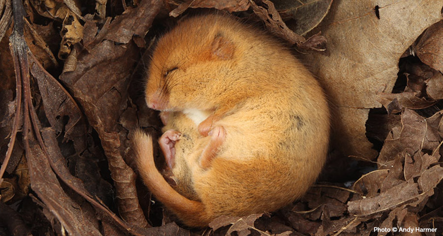 Dormouse Surveys: Cornwall and Devon, Truro, Bodmin, Falmouth, Penzance, Helston, St Austell, Plymouth, Launceston, Liskeard and Exeter.